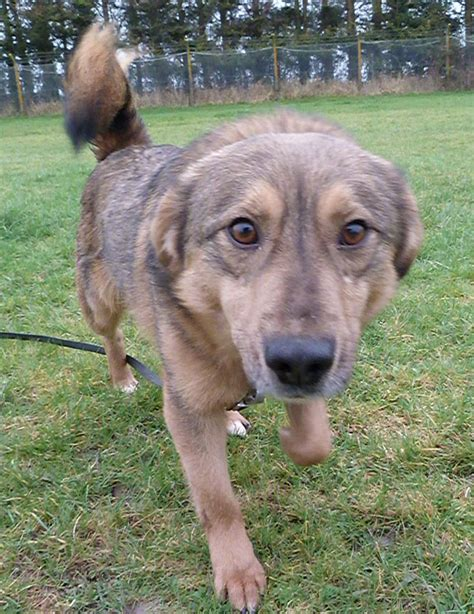 when can you take a puppy home urgent german shepherd zeus in kennels newport gwent gsdr