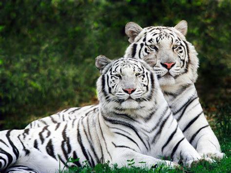 wallpaper alam dan hewan nature wallpaper hewan harimau dan macan tutul dimgray