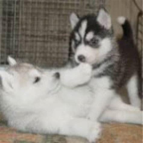 puppies for adoption albuquerque home raised siberian husky puppies for adoption 732 708 2298 albuquerque animal