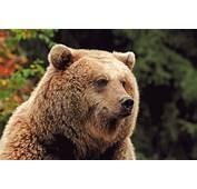 Ours Brun  Aran Park Parc Animalier Bossost Val DAran