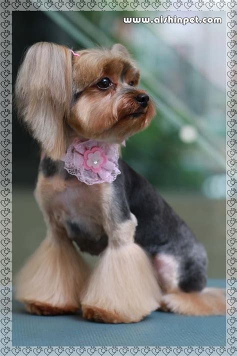 what does a rooster tail hairdo look like 17 best images about yorkie hairstyles on pinterest