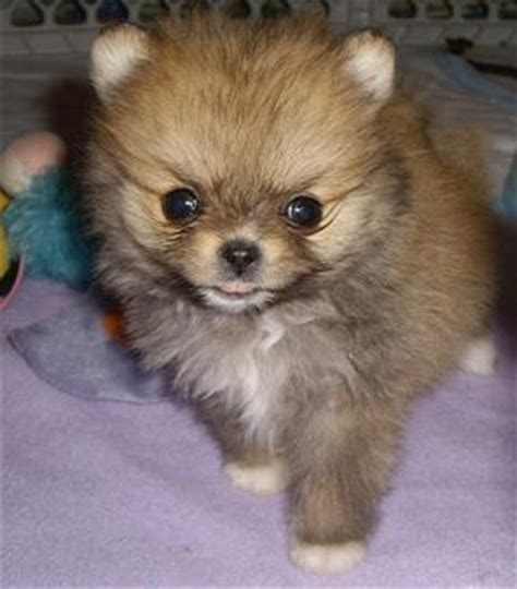 pomeranian hair not growing back haired pomeranian for sale hair fashions