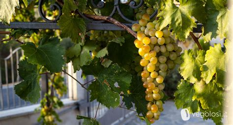 calorie uva da tavola uva propriet 224 consigli e curiosit 224 vegolosi it