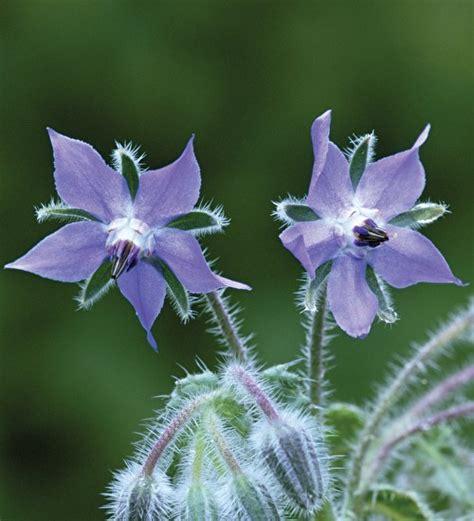 Blue Flower Crop borage blue seeds