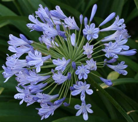 tanaman agapanthus biru blue bibitbunga