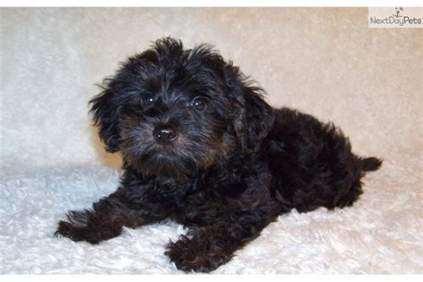 crate yorkie poo yorkiepoo yorkie poo puppy for sale near st louis missouri 09ff0469 6661
