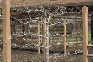 apple tree trellis how to espalier fruit trees