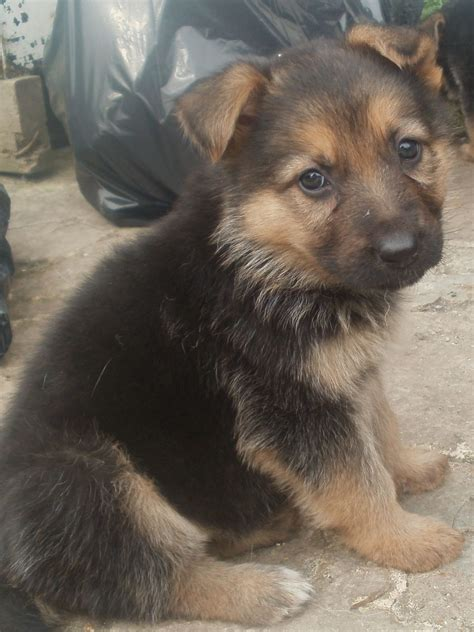 fluffy german shepherd puppy 1 gorgeous german shepherd pup west drayton middlesex pets4homes