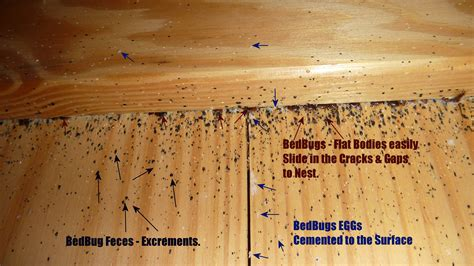 find a bed real bed bugs infestations pictures 1 pest