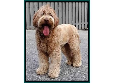 pictures of female labradoodles haircuts the perfect labradoodle haircut seaspray s lexie my