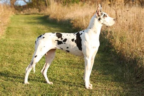 show me pictures of great dane dogs further hypoallergenic miniature 17 best images about unique great danes on pinterest
