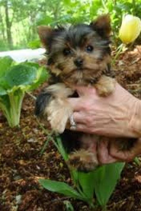 yorkie on sale breed yorkie puppies on sale offer malta 300