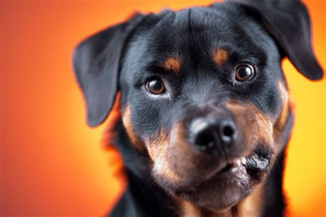 rottweiler aggression how to handle aggression in rottweilers rottweilerhq