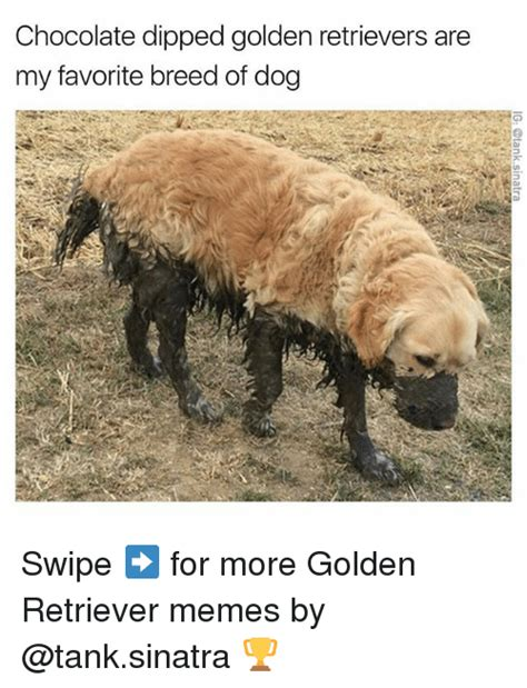 golden retriever meme 25 best memes about golden retrievers golden retrievers memes