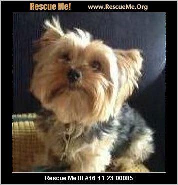 yorkie rescue ga yorkie rescue adoptions rescueme org
