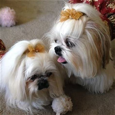 shih tzu diarrhea shih tzu topknots and bows how to with photos