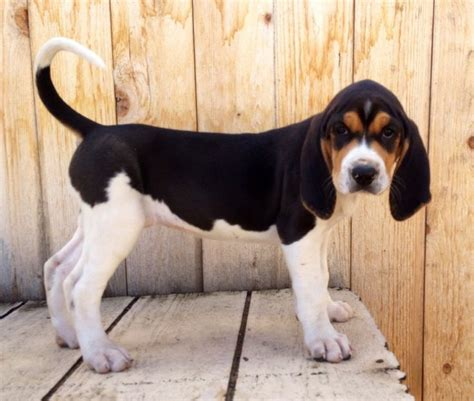 what does a walker hound dog look like pin by d j on christmas list pinterest