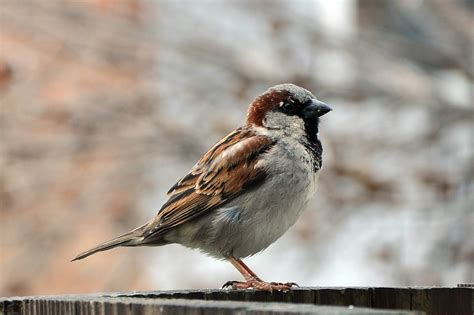 house sparrow file house sparrow male passer domesticus jpg wikimedia commons