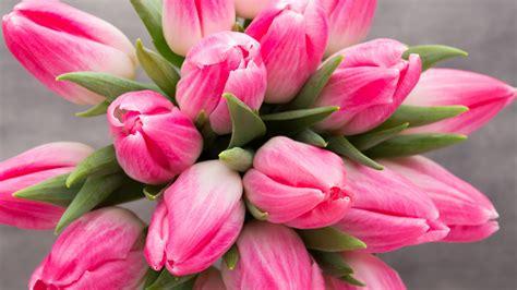 wallpaper pink tulips hd  flowers
