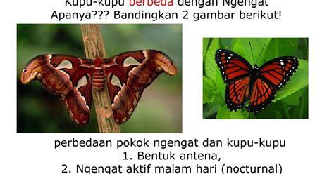 Atlas Daur Hidup Parasitologi Kedokteran biologi yes daur hidup attacus atlas