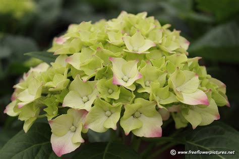 hydrangea picture flower pictures 5154