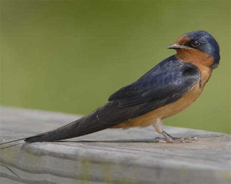 Barn Garages by Barn Swallow Audubon Guide To North American Birds