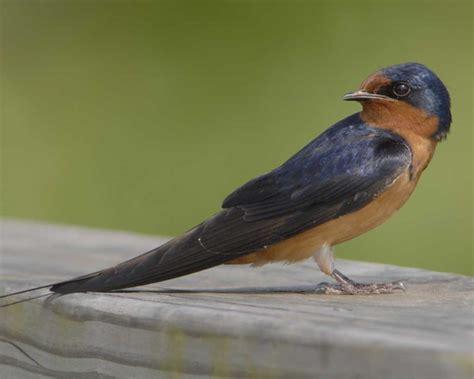 Barn Swalow barn audubon guide to american birds