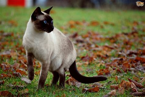 Applehead Siamese Cats   What are they?   Pets4Homes