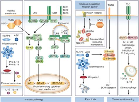 Pattern Recognition Receptors And The Inflammasome In Kidney Disease | nod like and toll like receptors or inflammasomes