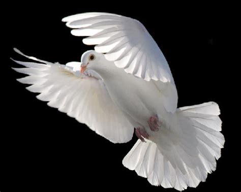 doves for funerals funeral doves and white dove funeral