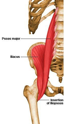 iliopsoas diagram hip flexor anatomy diagram shawn karam