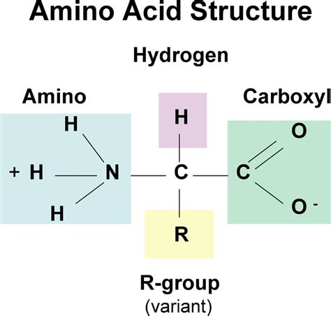 Protonation Of Amino Acids How Does Ph Affect Amino Acid Structure Exle