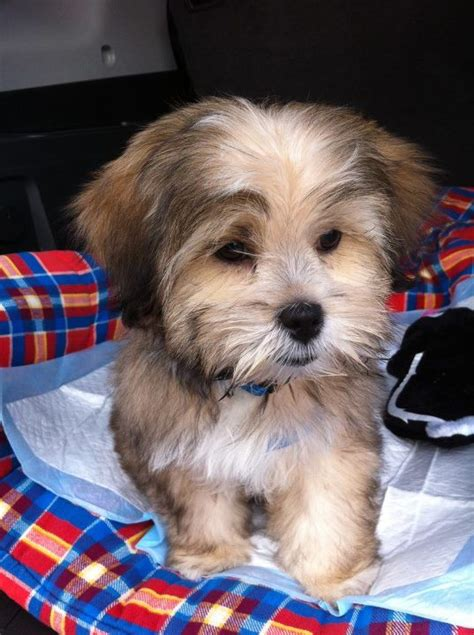 shorkie haircut photos shorkie haircut photos 43 best haircuts for cookie