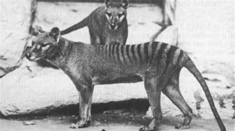 footage   living tasmanian tiger benjamin unearthed