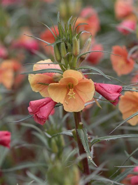 Pflanzen Bestellen 1181 by Stauden Stade Versand Shop Oenothera Versicolor Sunset