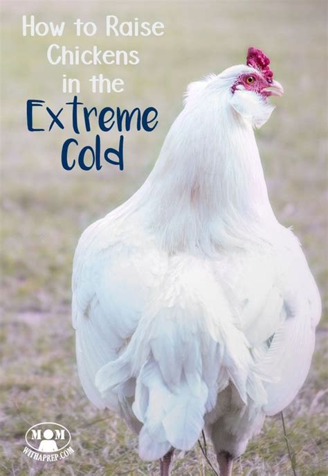 how to care for chickens in your backyard 25 best ideas about raising chickens on pinterest