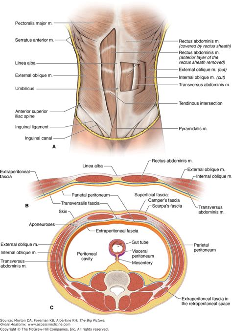layers of abdomen in c section search accessmedicine mcgraw hill medical