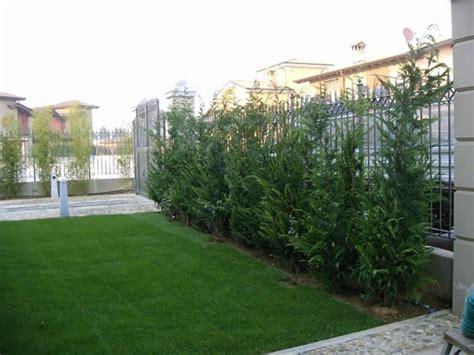 pini nani da giardino pini da siepe siepi pini per realizzare siepi