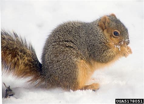 fox squirrel sciurus niger natureworks