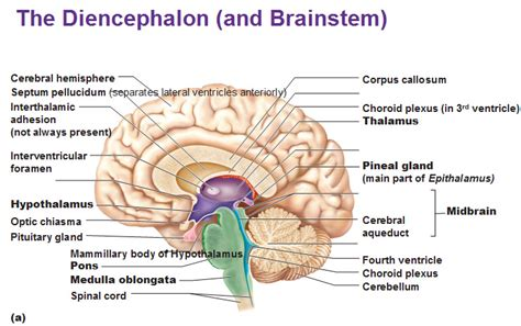 diagram of diencephalon the diencephalon