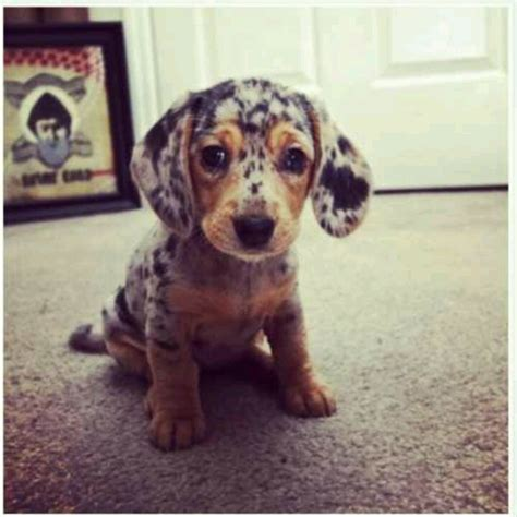 weiner puppy 17 best images about wiener dogs on dogs be d and sweet