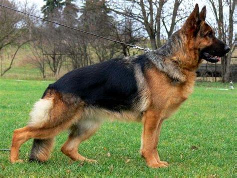 how much does a german shepherd cost what is the price of a german shepherd in india quora