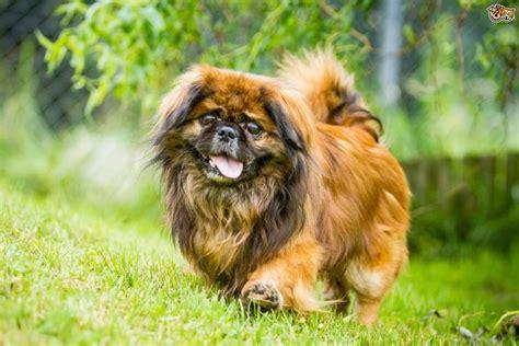 alimentazione cani piccola taglia pechinese cani taglia piccola caratteristiche