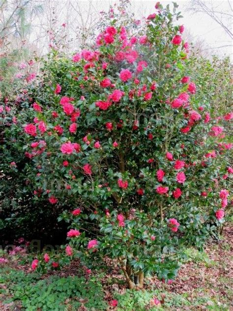 green shrub with pink flowers camellia williamsii anticipation 4m focal shrubs