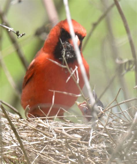 how long does it take northern cardinals to raise a family