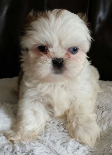 shih tzu blue 5 generation kc redgistered shih tzu blue blackburn lancashire pets4homes