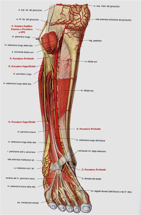 interno gamba nervo sciatico popliteo