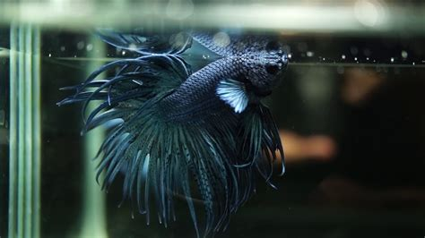 Crowntail Blue Stell live betta fish solid steel blue crowntail ct 1338
