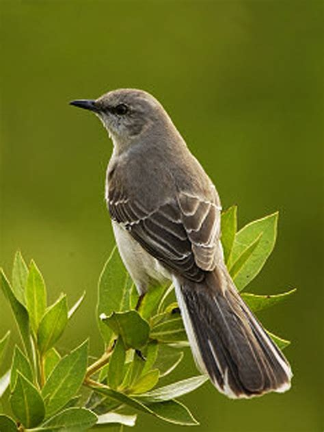 state bird of texas mockingbird birds pinterest