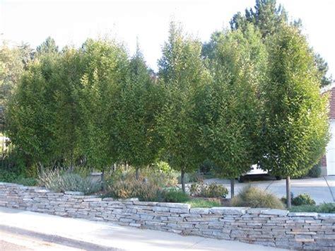 img 4193 1 jpg frans fontaine hornbeam tree for the
